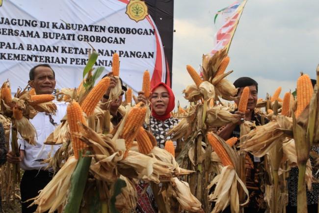 Panen Raya Jagung ,Bupati Grobogan Minta Pemerintah Jangan Impor