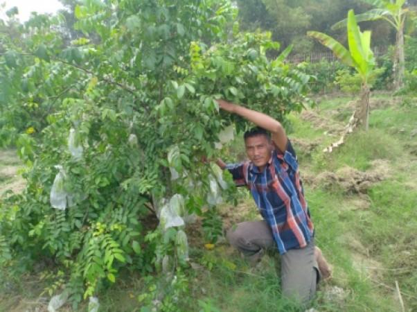 AGROBISNIS BELIMBING TAWANGHARJO BERBUAH MANIS